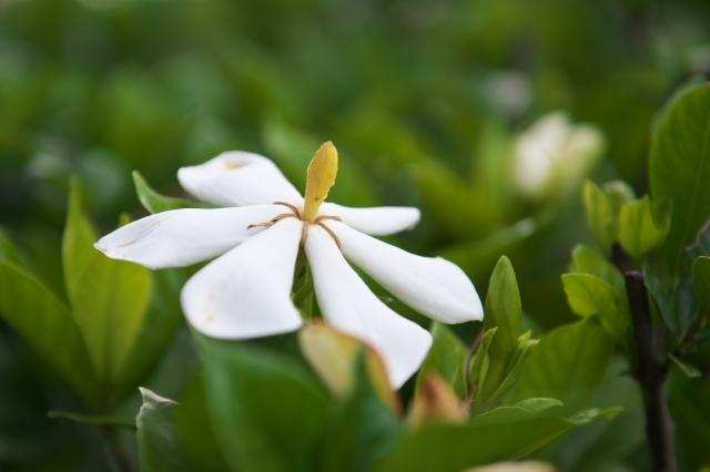 一重のクチナシの花-03