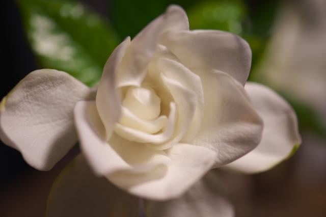 クチナシの花(八重)