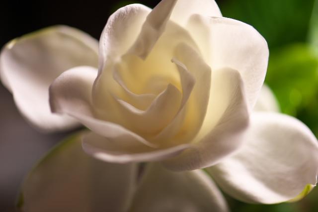 クチナシの花(八重)-02
