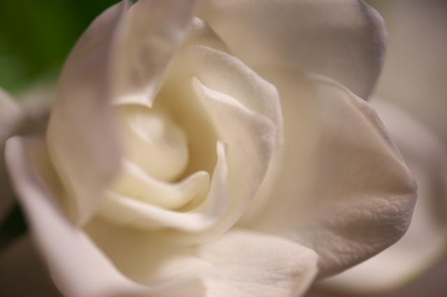 クチナシの花(八重)-01