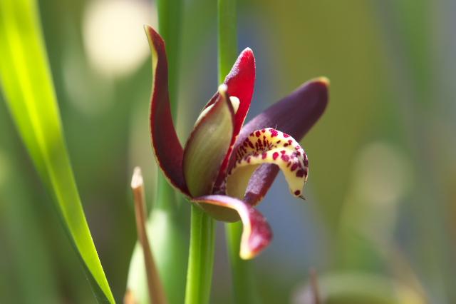 Maxillaria tenuifolia-02