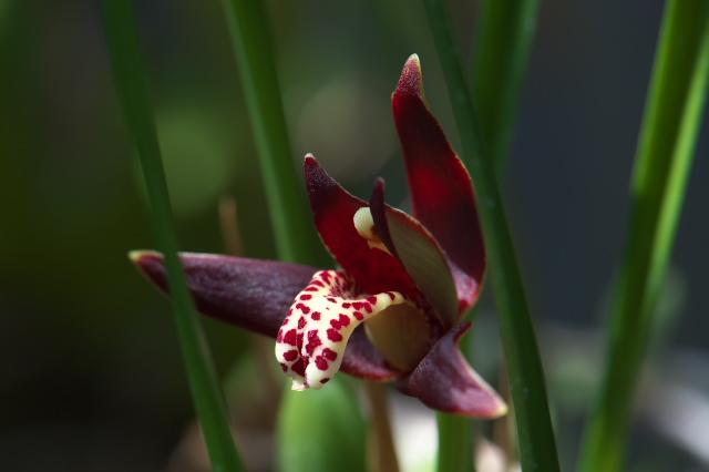 Maxillaria tenuifolia-03