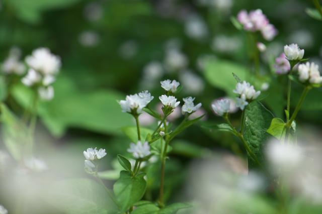 白花ミゾソバ-02