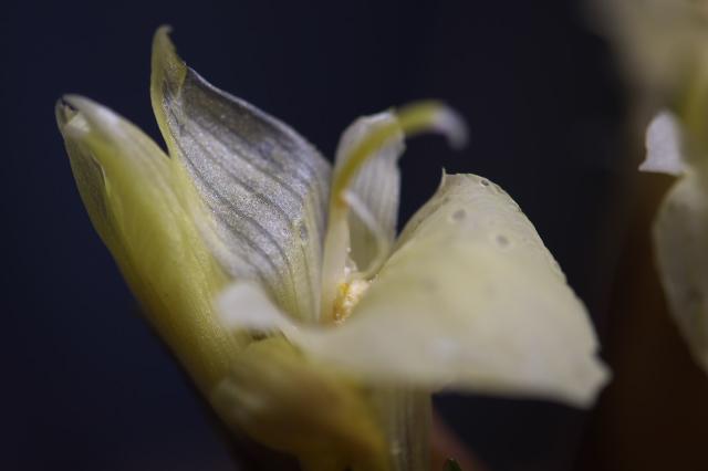 ミョウガの花-03