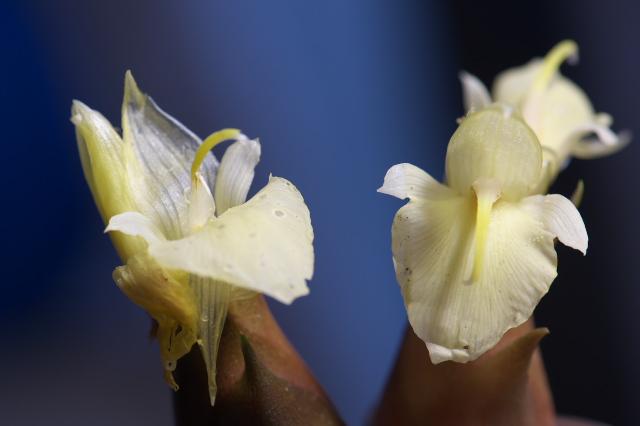 ミョウガの花-04