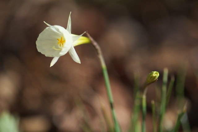 Narcissus bulbocodium-01