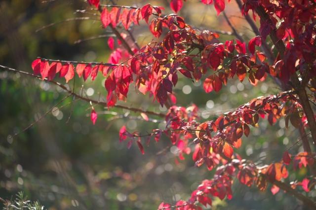 ・ニシキギの紅葉-01