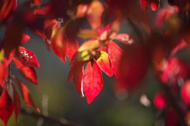 ・ニシキギの紅葉-03