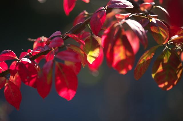 ・ニシキギの紅葉-04