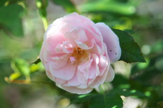 Rosa odrata ロサ・オドラータ-04