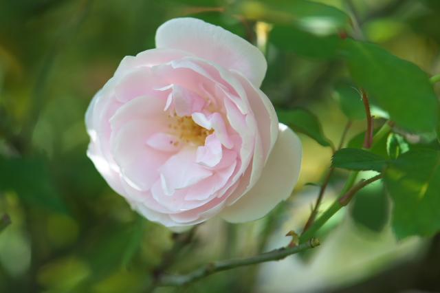 Rosa odrata ロサ・オドラータ-03