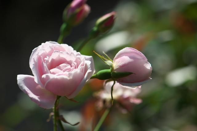 Rosa odrata ロサ・オドラータ-01