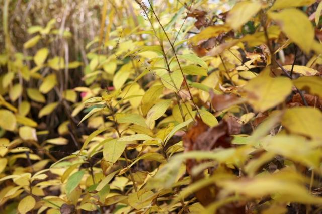オカトラノオの黄葉-04