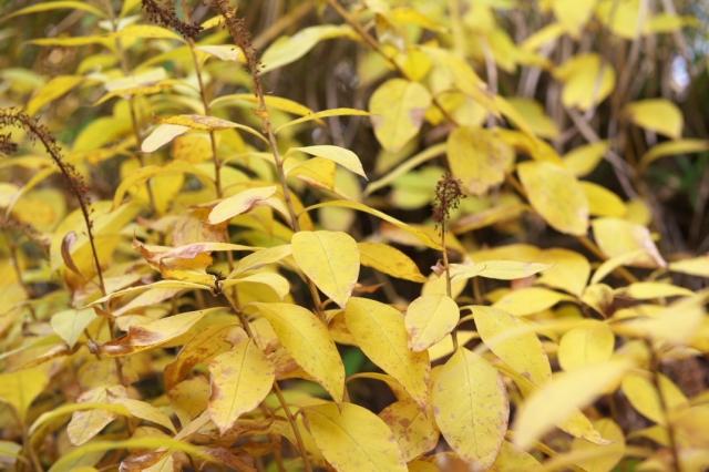 オカトラノオの黄葉-02