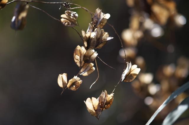 オニドコロの種鞘-02