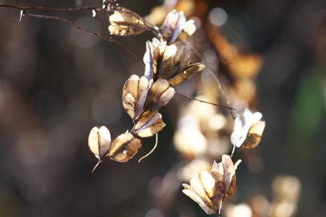 オニドコロの種鞘-03