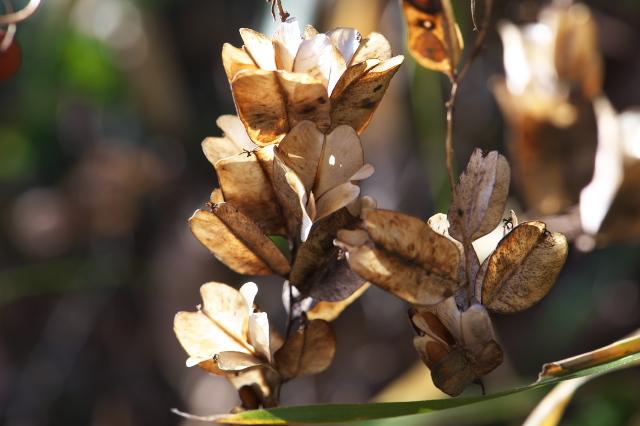オニドコロの種鞘-04