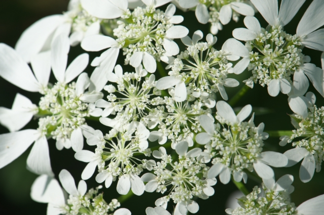 Orlaya Grandiflora White lace-01