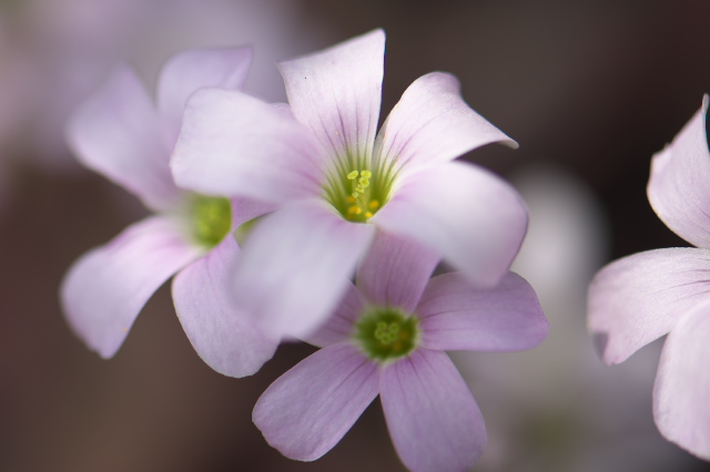 Oxalis Triangularis-01