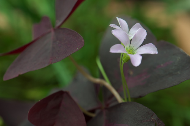 Oxalis Triangularis-03