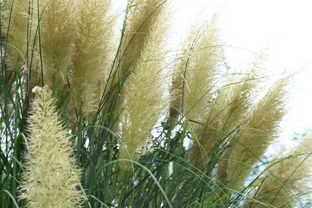 Pampas grass-03