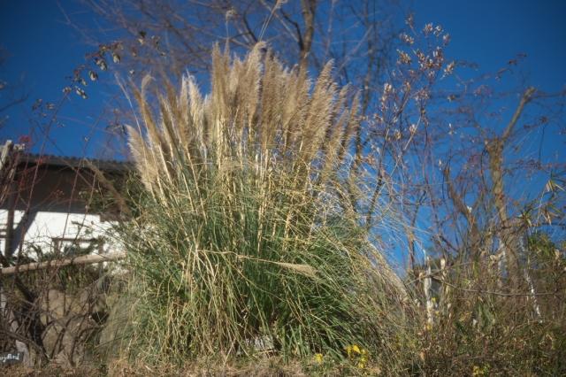 Pampas grass-01