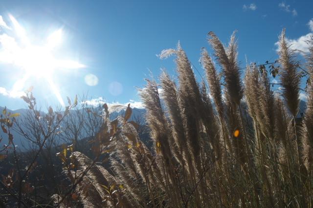 Pampas grass-05