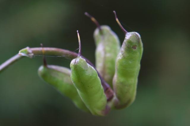 レンゲショウマの種鞘-02