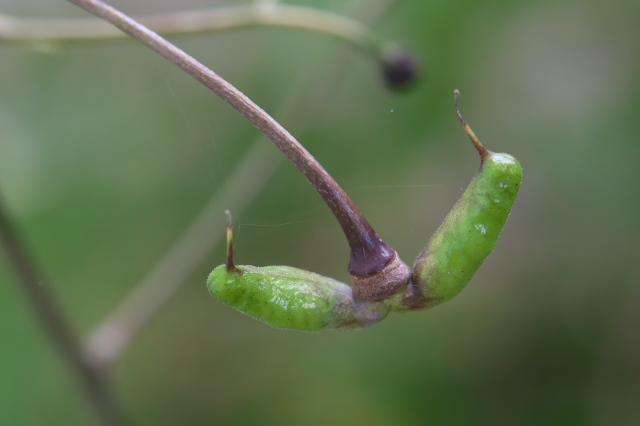 レンゲショウマの種鞘-04
