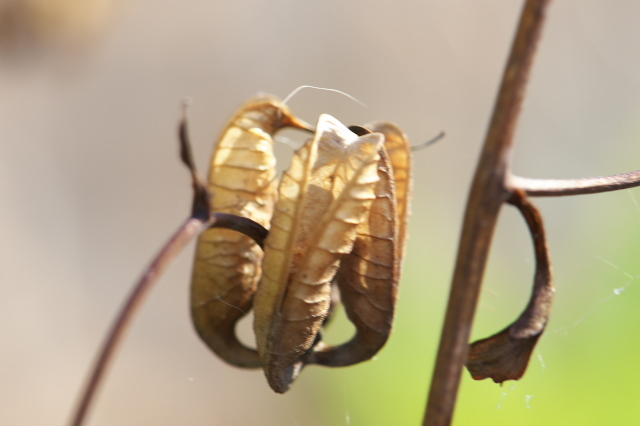 レンゲショウマの種鞘のおもしろさ-03