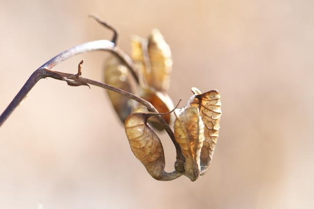 レンゲショウマの種鞘のおもしろさ-02