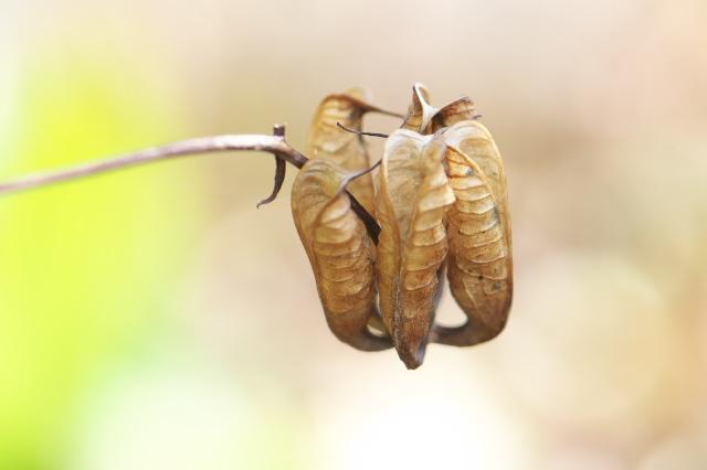 レンゲショウマの種鞘のおもしろさ-01