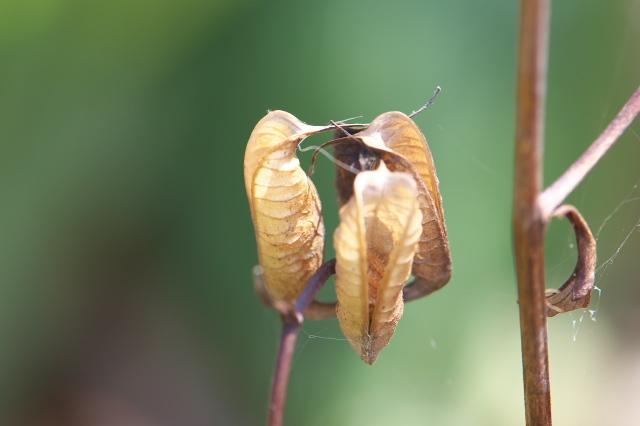 レンゲショウマの種鞘のおもしろさ-04