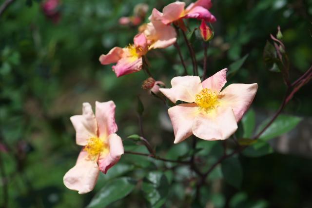 Rosa chinensis Mutabilis-01