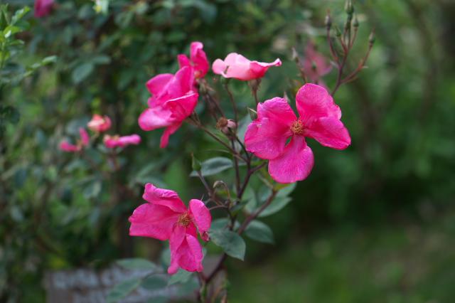 Rosa chinensis Mutabilis-04