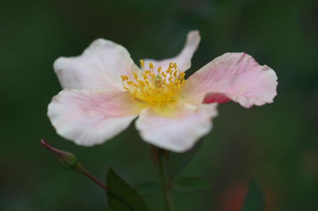 Rosa chinensis Mutabilis-03
