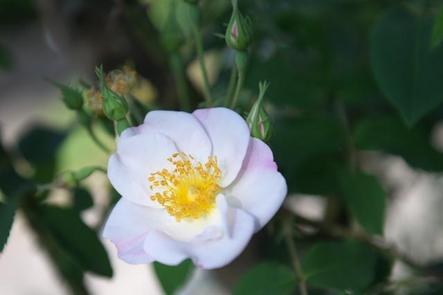 Rosa dupontii-03