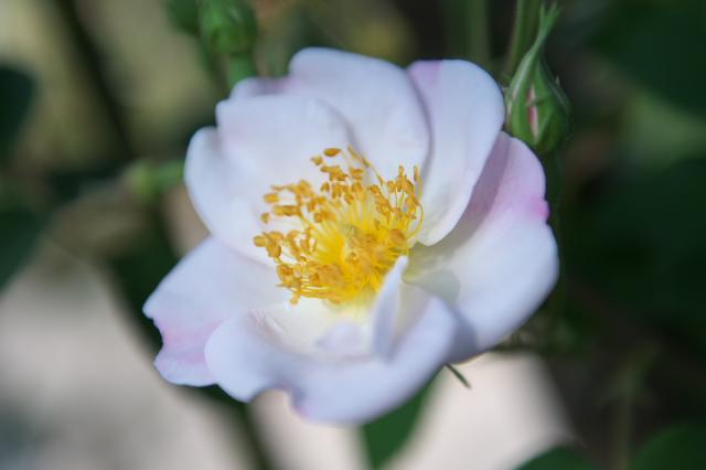 Rosa dupontii-02