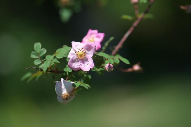 Rosa Farreri Persetosa