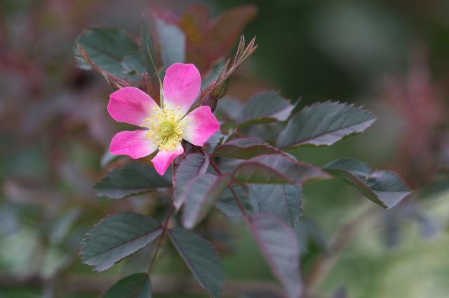 Rosa glauca-01