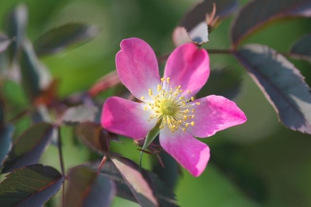 Rosa glauca-02-01