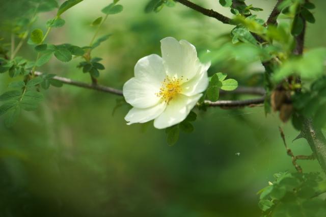 Rosa.hugonis