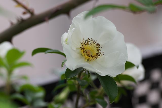 原種バラRosa.laevigata-04