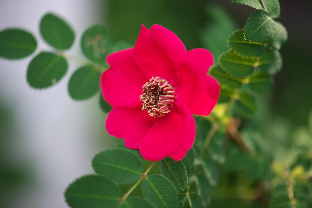 rosa-moyesii-05-24-2016-01.jpg