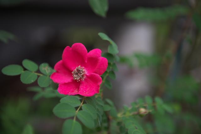 rosa-moyesii-05-25-2016-01.jpg