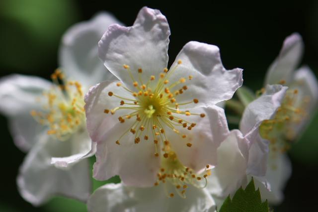 Rosa multiflora-03