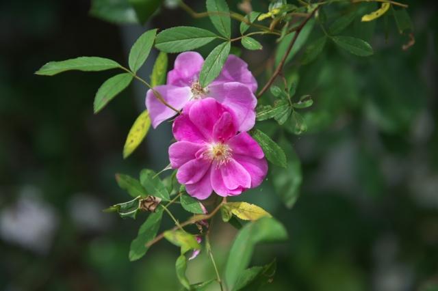 Rosa.palustris Plena-00