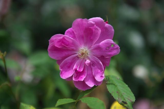 Rosa.palustris Plena-01