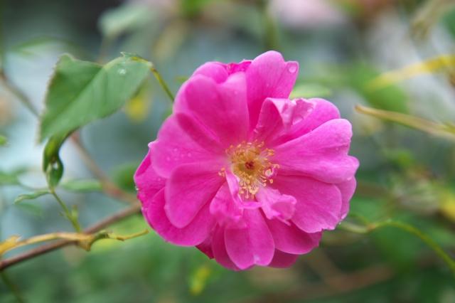 Rosa.palustris Plena