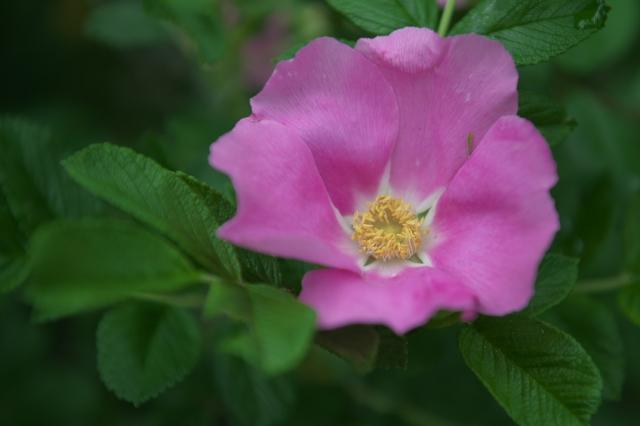 Rosa.rugosa